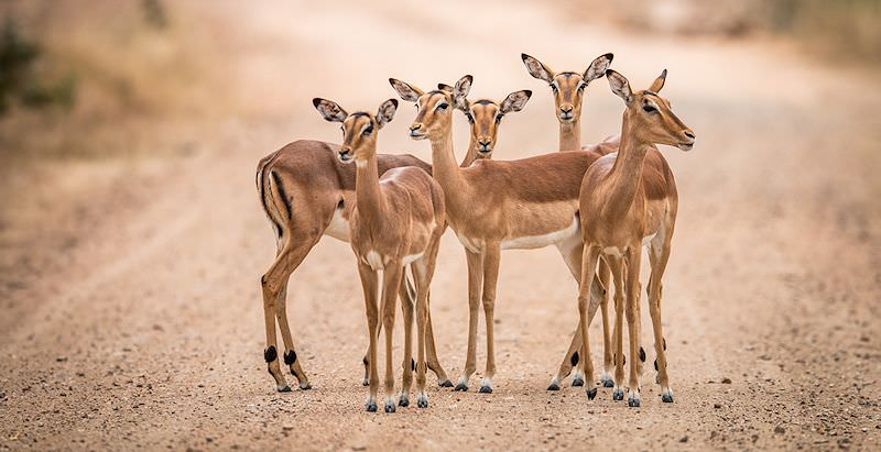 A gathering of impala ewes encountered on safari in the Kruger National Park.