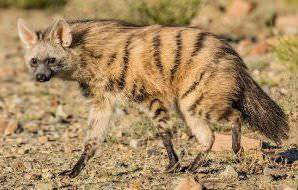 An aardwolf emerges cautiously in the late afternoon.