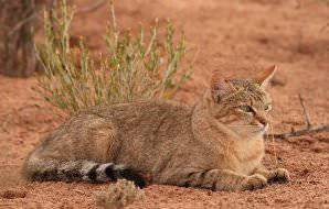African wildcats are common throughout Southern Africa, yet only occassionally spotted.