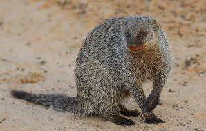 A banded mongoose looks toward the camera.