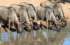 A quintet of blue wildebeest drinking from a river.