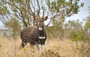 Bushbuck rams are considerably darker than ewes.