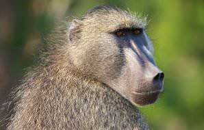 A sideways glance from a Chacma baboon.
