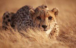 A cheetah crouches low in the grass.