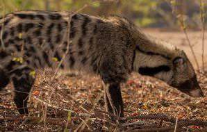 A rare daytime sighting of a civet.