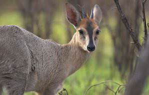 A common duiker looks toward the camera.
