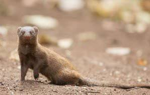 A dwarf mongoose encountered in the Kruger National Park.