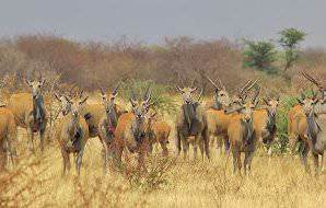 A rather sizeable herd of eland.
