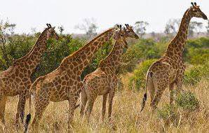 A tower of giraffe in the Kruger National Park.