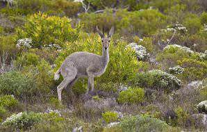 Grey rhebok enjoy mountainous landscapes.