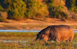 Hippos are typically spotted in or near watercourses.