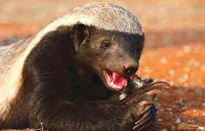Honey badgers have very powerful jaws.