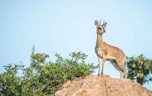 Klipspringers are commonly found in rocky areas.