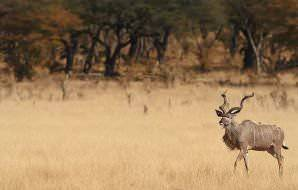 A handsome kudu bull wanders across the savanna.