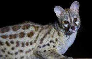 The large spotted genet is largely nocturnal.