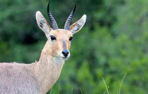 A close-up shot of a mountain reedbuck.