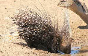 A porcupine emerges to drink in the daytime.