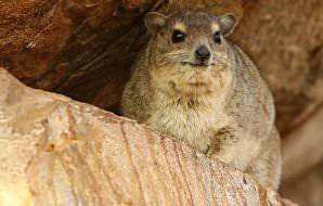 Dassies are typically spotted in rocky areas.