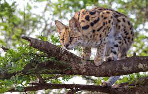 A serval perched on a tree branch.