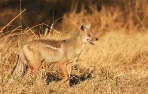 The side-striped jackal is much rarer than his black-backed cousin.