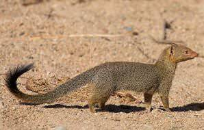 Meet the slender mongoose while on safari in the Kruger Park.