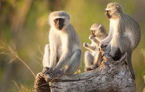 A trio of vervet monkeys in the Kruger National Park.