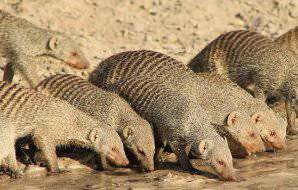A water mongoose family drinking from a pond.
