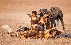 A pack of African wild dogs in the Kruger Park.
