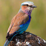 A lilac-breasted roller.