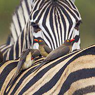 A red-billed oxpecker on the back of a zebra.