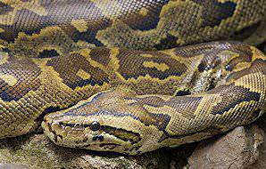 A close-up of an African rock python.