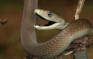 A black mamba bares its fangs.