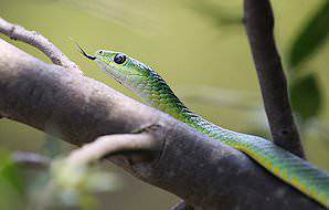 A boomslang slithers through the trees.