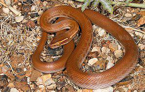 A brown house snake.
