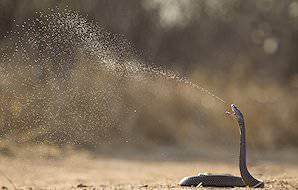 A spitting cobra sprays its venom into the air.