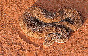 A puff adder seen from above.
