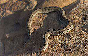A snouted night adder.