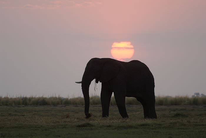 An elephant wanders alongside the Chobe River at sunset.