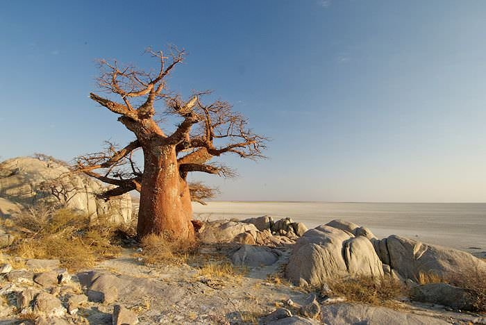 A baobab juts out from the flat expanse of the Makgadikgadi Pans.