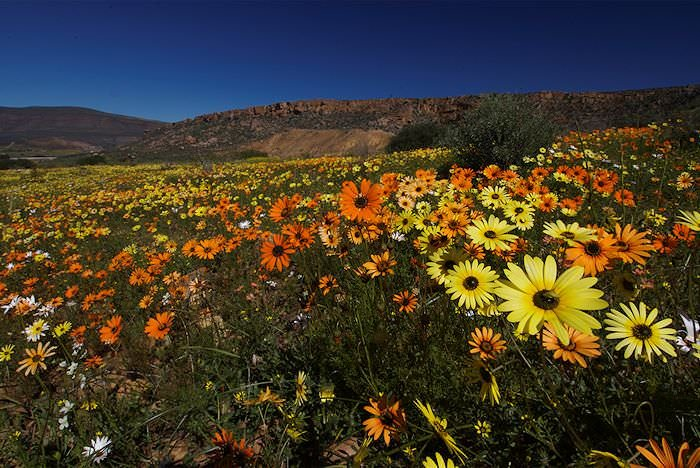 Spectacular wild flowers burst across Namaqualand in the springtime.