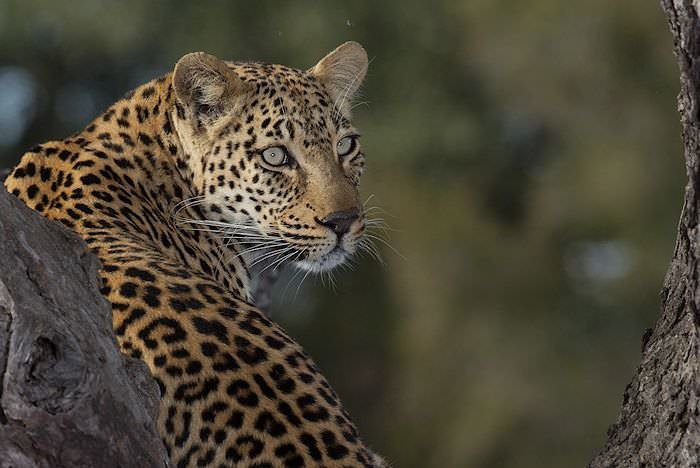 A leopard looks back over its shoulder while perched in the crook of a tree.