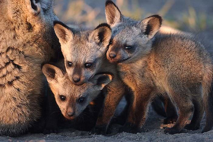 A trio of bat-eared fox pups squeeze in alongside their mother.