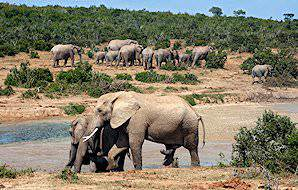 Elephants approach a waterhole in the Addo Elephant National Park.