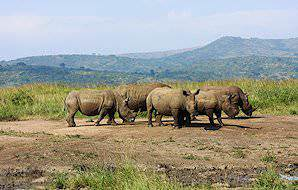 A crash of rhinos grazing in the Hluhluwe-iMfolozi Game Reserve.