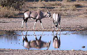 A pair of gemsbok stop for a drink at a waterhole in Kgalagadi.