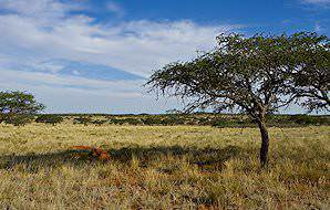 Camelthorn trees populate the sandy plains of Mokala.
