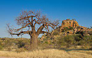 A baobab tree juts from the landscape of Mapungubwe National Park.