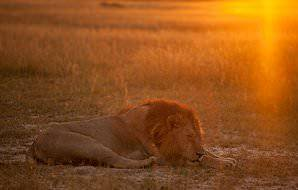 A lion slumbers in the glow of the setting sun.
