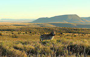 A mountain zebra grazes on a hilltop in the Cape Mountain Zebra National Park.