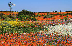Spring flowers burst across the landscape of Namaqua.